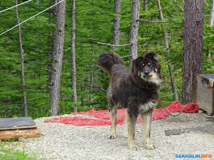 Собака, охраняющая подъемник насеверном склоне