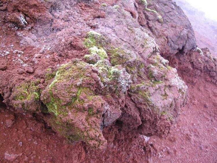 Bryum argenteum нагорячем андезите укромки кратера вулкана Тятя наКунашире (автор фото: В. Бакалин)