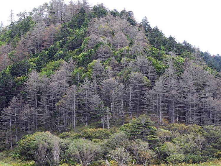 Погибшие хвойные деревья пораспадку ручья Змеиного
