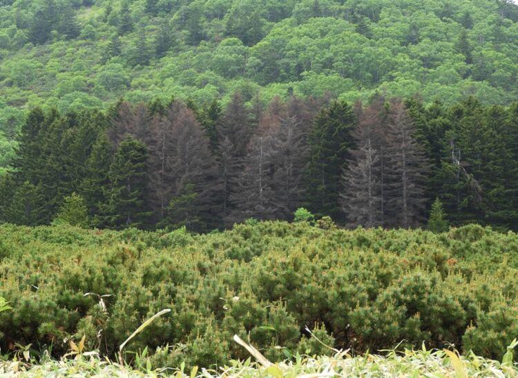 Усыхающие деревья  в хвойном массиве изели Глена вкальдере вулкана Головнина