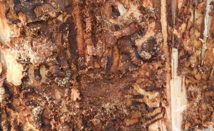 Личиночные ходы настволе погибшего хвойного дерева (ель аянская)
