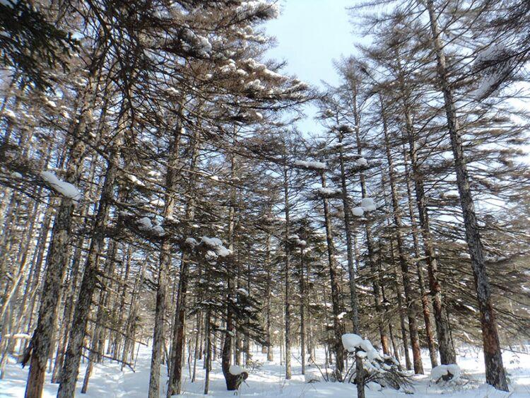 """Погибшие деревья елиГлена наюге острова Кунашир, охранная зона заповедника """"Курильский"""""""