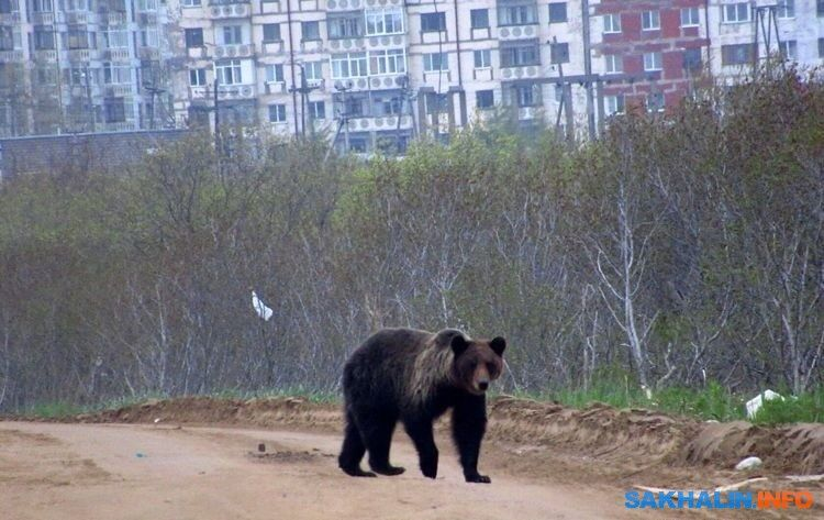 На Сахалине и Курилах разрешили отстрел 432 бурых медведей
