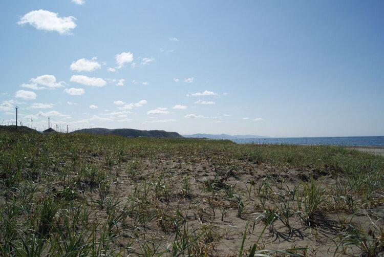 Пески морских побережий, поросшие неплотным травянистым покровом, – типичное местообитание тарантула Lycosa ishikariana. Юго-западный берег Сахалина, район села Садовники
