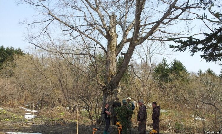 Верхушка дерева сбита русским снарядом